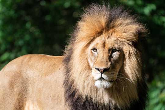 凶猛帅气的野生雄狮图片