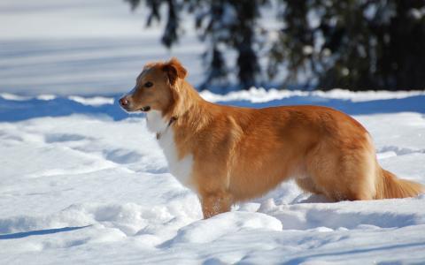 冬天,狗,雪