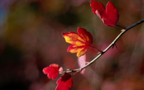 叶子,秋天,散景,模糊,树枝