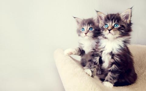 小猫,蓝色的眼睛,动物