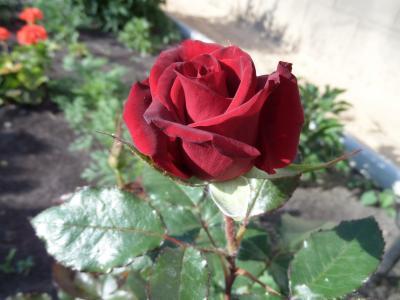 玫瑰,宏,深红色