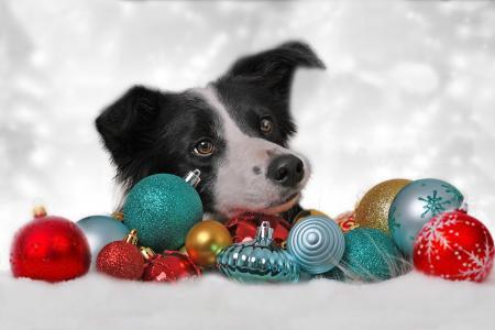 假日,新年,玩具,动物,狗,狗,边境牧羊犬,头