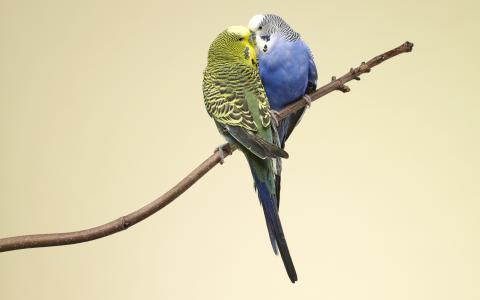 鹦鹉,彩色,分支,爱情