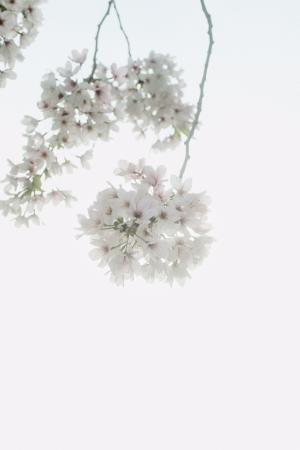 绽放的白樱花