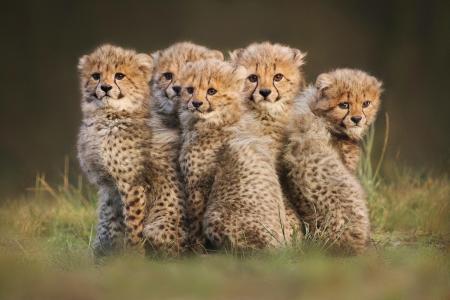 动物,猎豹,幼崽