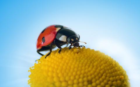 瓢虫,黄色的花