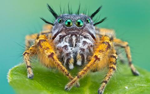毛茸茸的,宏,蜘蛛,japer