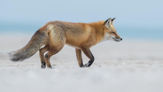 动物,狐狸