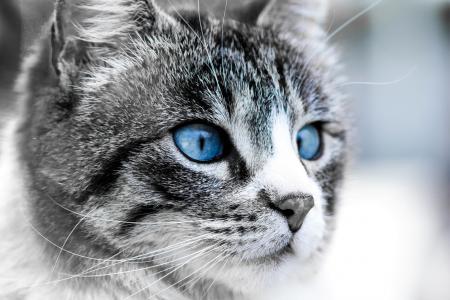 猫,月亮,蓝色,眼睛,脸