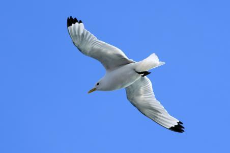 海鸥,天空,蓝色