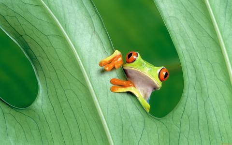 青蛙,叶子