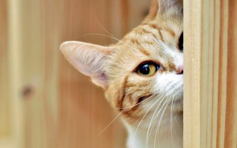 小胡子,看,猫