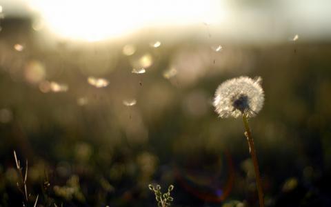 植物,晚上,场,蒲公英,性质,日落