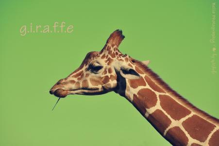 长颈鹿,脸,背景,题字,脖子