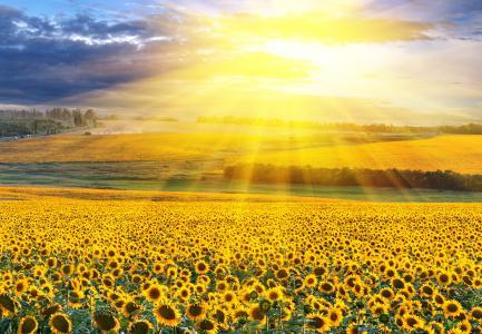 领域,向日葵,太阳光线,风景