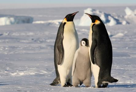 企鹅,冬天,雪