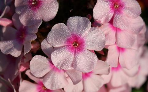 花,福禄考,粉红色,露水