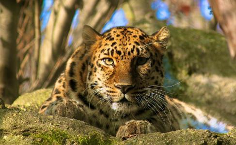 豹,阿穆尔豹,枪口,捕食者,查看,休息