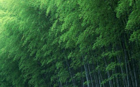竹林,树林,厚实