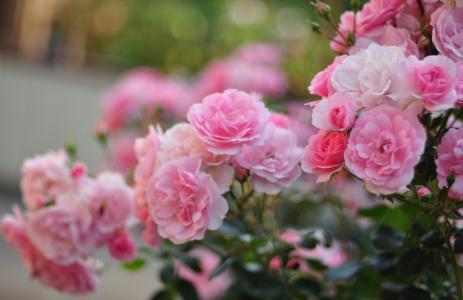 玫瑰,粉红色,花瓣,花,灌木,模糊