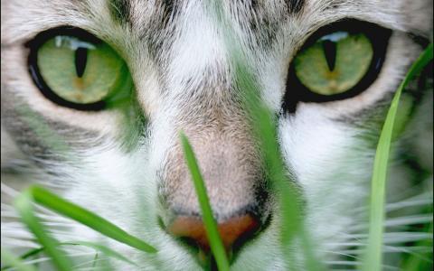 猫,草,绿色,枪口,眼睛