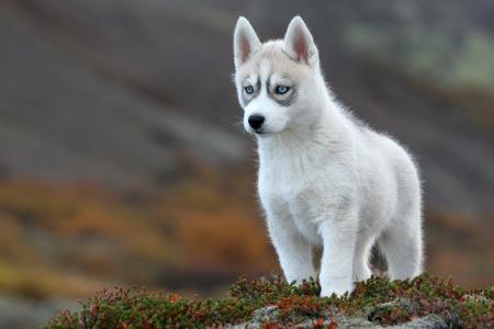 狗,小狗,沙哑,美丽,性质