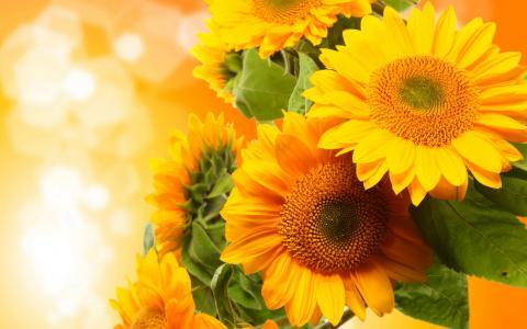 向日葵,绽放,特写镜头