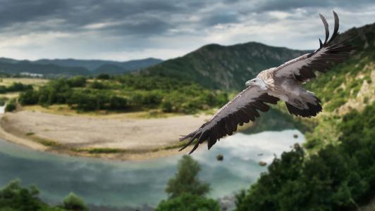 兀鹫,鸟,飞行,翅膀,性质,全景图