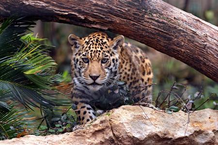 捷豹,猫,捕食者,日志,石头