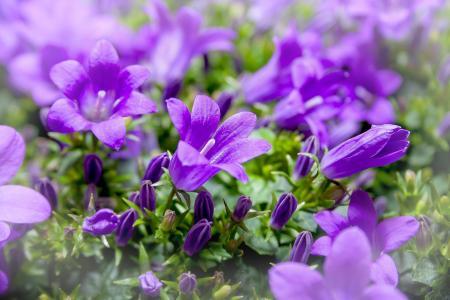娇艳的紫色桔梗摄影