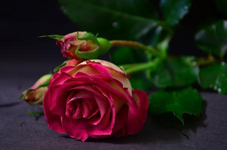 花,玫瑰,芽,叶子