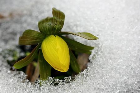 冰,黄色,冷,芽,花,春天