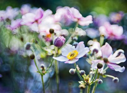 焦点,模糊,鲜花,宏,海葵,光,眩光