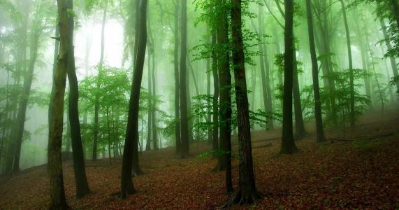 密集,森林,树木,美女,夏天,雾