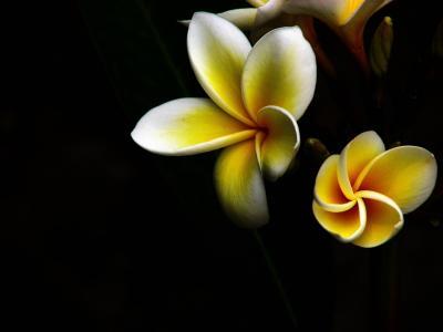 从黑暗,花,黄,玉兰,白,淡黄