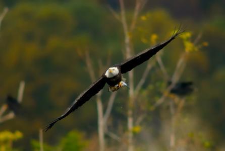 飞行,鸟,鹰,翅膀,秋千