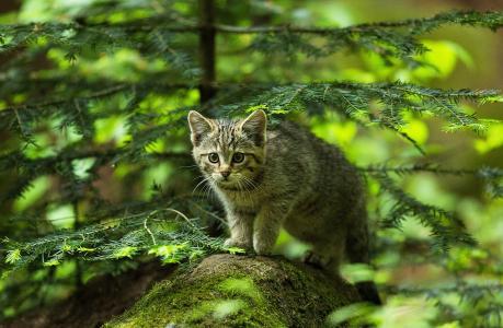 猫,小猫,森林,冷杉,石头,猎人