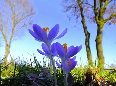 鲜花,春天,性质,宏观照片,美丽,番红花