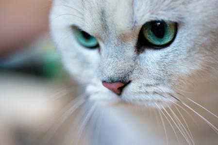 猫,动物,绿色的眼睛,胡子,宏