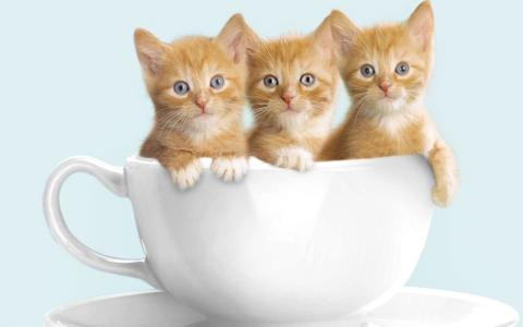 可爱,小猫,三,杯,猫