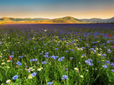 景观领域,矢车菊,霜降,性质,鲜花