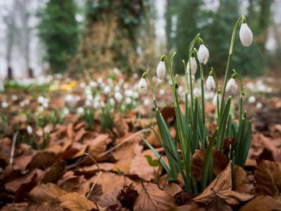 照片,春天,鲜花,宏观照片,雪花莲