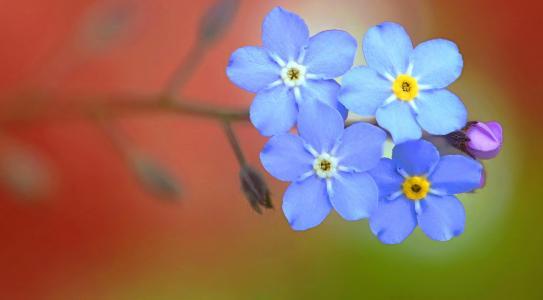 鲜花,美,勿忘我,宏,花,背景,花瓣,世界的花