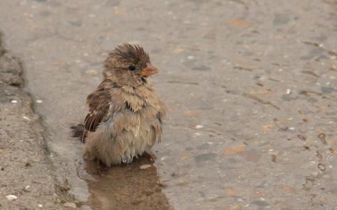 麻雀,鸟,水坑