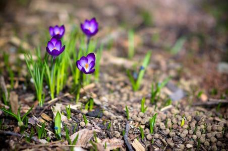 春天,鲜花,植物,性质,照片,番红花,宏