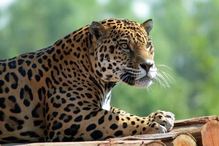 动物,捕食者,捷豹,日志