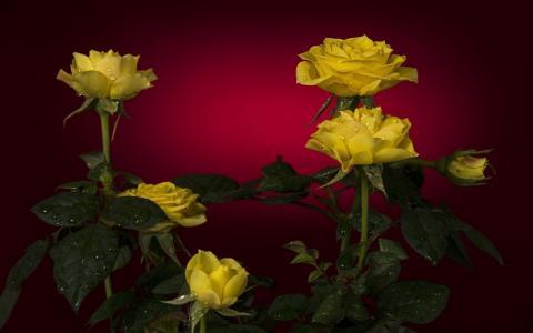 玫瑰,滴,背景