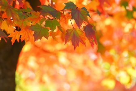秋天,树,枫叶,叶子,散景,光