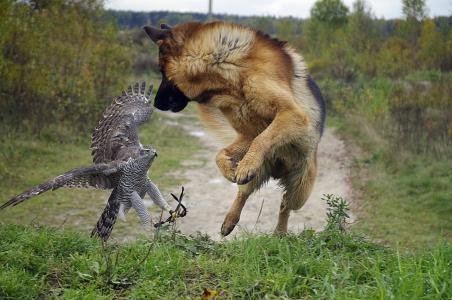 狗,鸟,牧羊人,猎鹰,路,果岭,树,美女,酷,乐趣