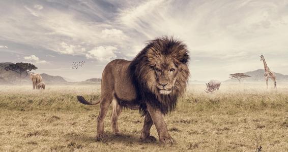 狮子,图片,捕食者,大草原